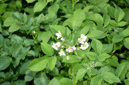 color photography: detail of flowering potato in the field color photography