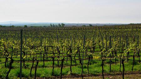vineyard landscape in spring at south moravian