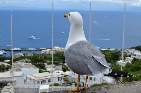 seagull looking around at Capri island in Italy photography