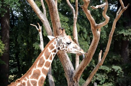 giraffe licking tree detail photography in nature 版權商用圖片