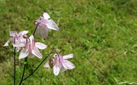 detail of pink flower bell aquilegia