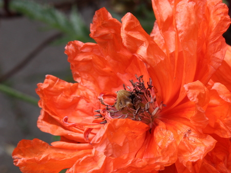 detail of bright orange papaver flower