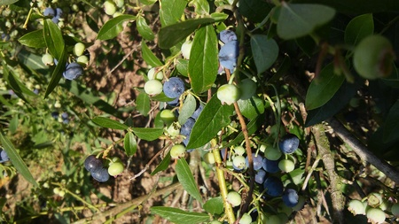 Blueberry in the garden