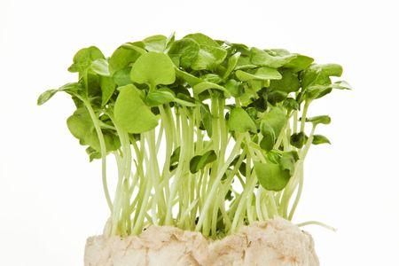 Fresh green alfalfa sprouts against white background photo