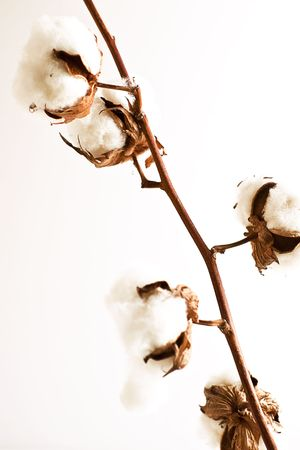 cotton flower: Stem of ripe cotton on white background. Stock Photo