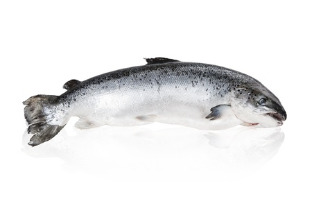 fish meat: Big shiny salmon isolated on white background.