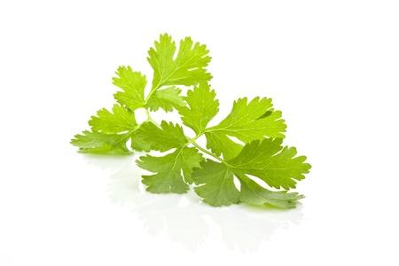 Feuilles de coriandre fraîche de brutes organiques isolées sur fond blanc. Herbes aromatiques culinaire.