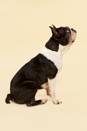 French bulldog sitting isolated on neutral background. Side view. photo