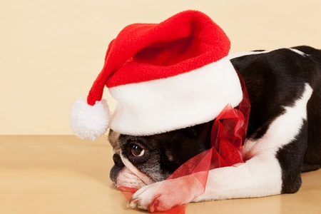 Cute sad french bulldog with christmas hat and red ribbon. Xmas present. photo