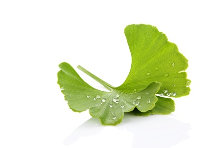 Fresh ginkgo biloba leaf with dew drops isolated on white background with reflection. Healthy living. Natural alternative medicine. photo