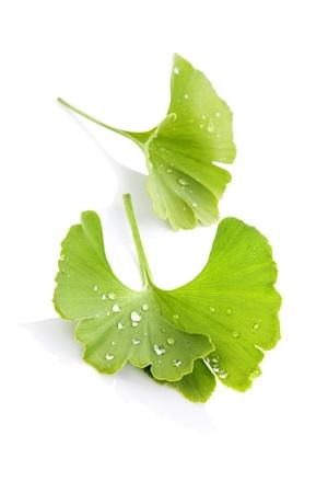 반사와 흰 배경에 고립 물 방울과 은행 나무 잎. 대체 의학 개념.