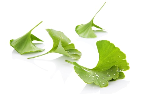 Ginkgo leaves with water droplets isolated on white background with reflection. Alternative medicine, nutritional supplement.