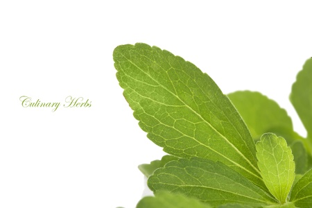 alternative living: Stevia herb, sweetleaf isolated on white background. Healthy sugar alternative. Healthy living.