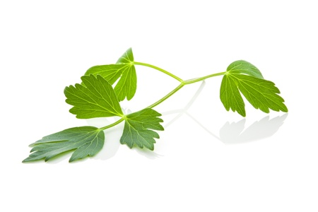 Fresh lovage herb isolated on white background. Fresh culinary healthy cooking ingredients. Aromatic herbs.