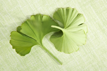 Ginkgo biloba. Fresh green ginkgo leaves isolated on green background, top vies. Healthy natural alternative medicine. photo