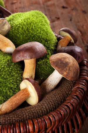 mushroom picking: Fresh delicious mushrooms with moss in wooden basket on brown wooden background.Seasonal mushroom picking.