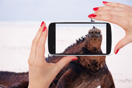 snapshot: Marine iguana looking into camera on beach. Snapshot on the beach. Female hands taking snapshot of iguana on beach at Galapagos Island in Ecuador. Travelling the world. Stock Photo