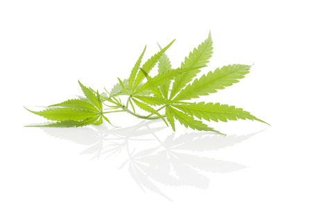 Cannabis gebladerte op een witte achtergrond. Alternatief medicijn. Stockfoto