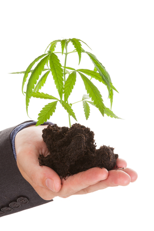 soil: Caucasian handsome man in suit holding young cannabis plant with soil in his hand isolated on white background. Drug dealer.