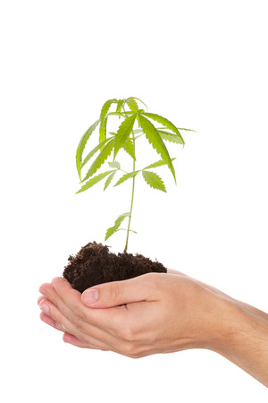 Caucasian handsome man holding young cannabis plant with soil in his hand isolated on white background. Drug business.