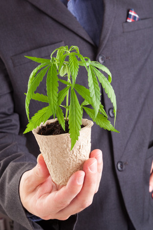 drug dealers: Caucasian handsome man in suit holding young cannabis plant with soil in his hand. Cannabis business.
