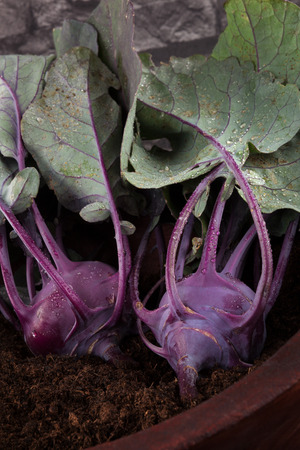country style: Ripe fresh kohlrabi in wooden bowl with soil. Fresh country style harvest.