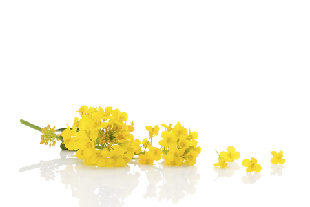 Rapeseed flower isolated on white background. Banco de Imagens