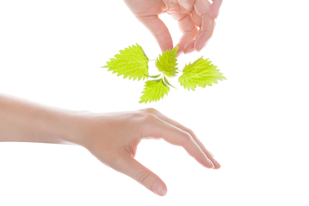 stinging: Female hand holding stinging nettle and touching her hand. Natural arthritis medicine.