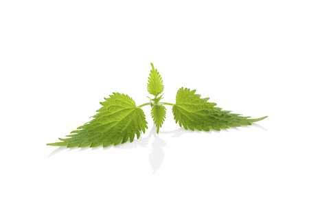 stinging  nettle: Stinging nettle leaf isolated on white background. Natural remedy. Stock Photo