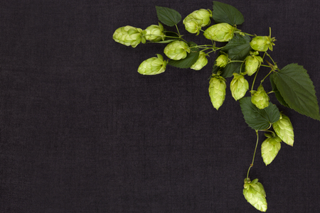 lupulus: Hop branch isolated on dark concrete background from above with copyspace.