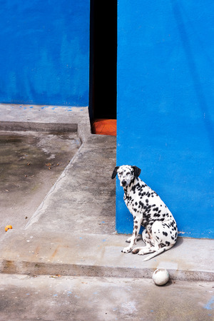 バノス, エクアドル, 南米の青い壁のダルメシアン犬。