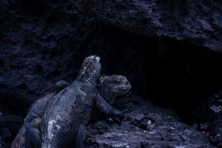 種の起源。ガラパゴス島の黒い石の黒の海洋イグアナ。エクアドル、南アメリカ。 写真素材