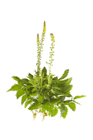 Agrimonia eupatoria, common agrimony, church steeples or sticklewort isolated on white background. Natural remedy, medicinal plant. Standard-Bild