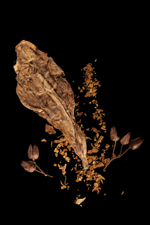 Dry tobacco leaf with tobacco seeds isolated on black background