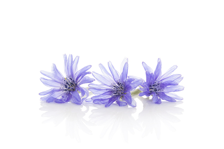 Cichorium intybus - common chicory flowers isolated on the white background.  Medicinal herbs. Coffee alternative. Stock Photo