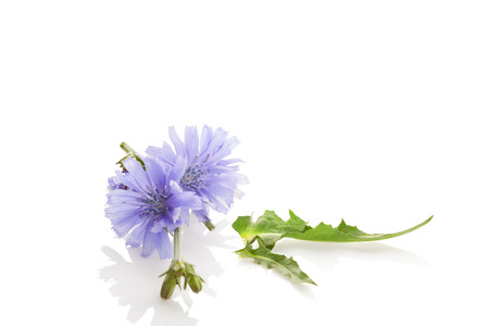 Cichorium intybus - common chicory flowers isolated on the white background. Medicinal herbs. Coffee alternative.