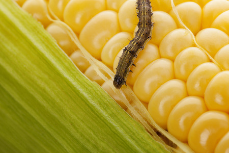Worm on corn cob. Organic maize. Corn Harvest Affected By Worms. Archivio Fotografico
