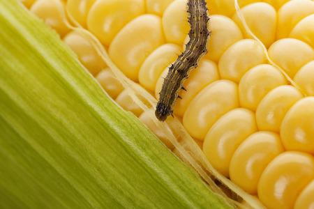 Worm op maïskolf. Biologische maïs. Maïsoogst aangetast door wormen.