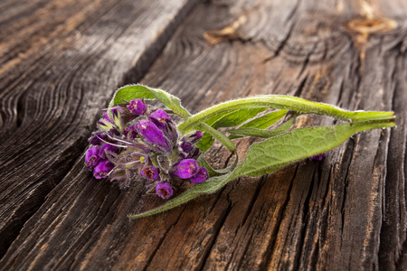 Comfrey flower with hairy leaves and purple nodding flowers on wooden table.