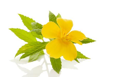 Damiana 꽃과 잎에 격리 된 흰색 배경.