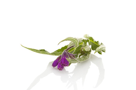 Healthy Comfrey flower isolated on white background