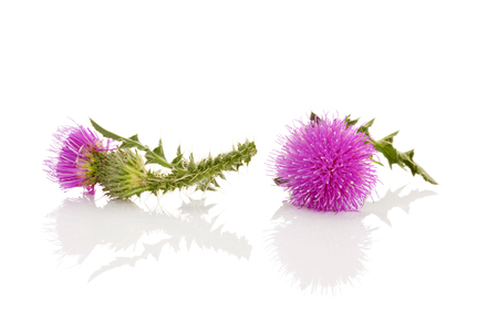 Medical Thistle flower isolated on white background.
