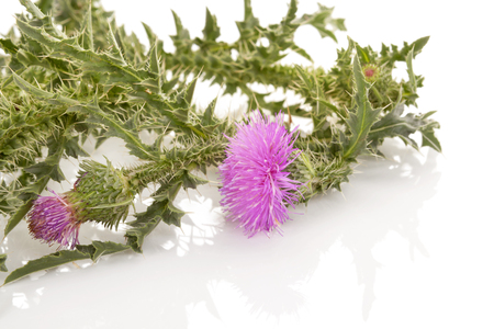 Carduus flower isolated on white background. Medicinal plant.