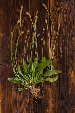 Whole Ribwort plantain with roots on wooden table from above. Narrowleaf plantain. Banque d'images
