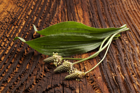 Healthy Green Ribwort plantain on wooden table. Narrowleaf plantain, medicinal plant.