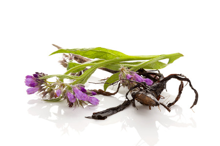 Purple blooming Comfrey flower and root isolated on white background. Medicinal plant.