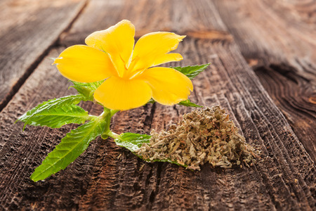 Damiana, turnera diffusa flower on brown wooden table. Medicinical herbs.