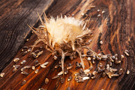 Dried Milk Thistle flower with seeds on wooden table. Medicinal plant silybum marianum. Stock Photo