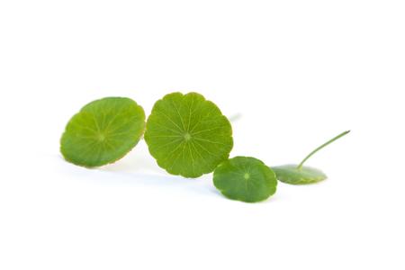 Asiatic pennywort, fresh gotu kola leaves isolated on white background. Medicinal herbs. Stock Photo