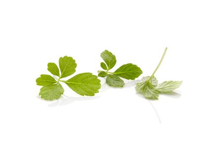 Gynostemma pentaphyllum leaves isolated on white background. Medical herb jiaogulan.